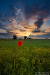 poppy, sunset , East Germany , Matthias Haltenhof