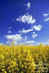 yellow, coleseed, rape, raps, feld, field, blue, sky, clouds , East Germany , Dave Derbis