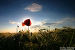 poppy , East Germany , Matthias Haltenhof