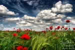 summer, garden, sommer, garten, field, feld, corn, korn, mohn, wild, red, poppy, beautiful, wunderschön, blau, grün, rot, blue, green, red, white clouds, blue sky , East Germany , Dave Derbis