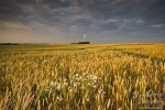 corn, field, golden light, summer, sunset, gold, light, flowers , East Germany , Dave Derbis